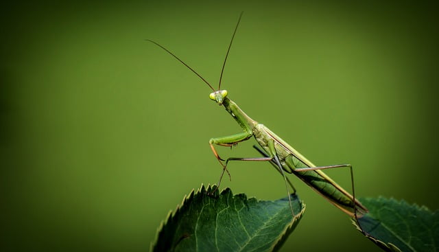 Ciri serangga: belalang sembah